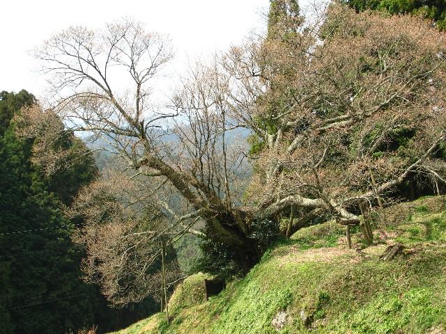 na-0403千年桜.jpg