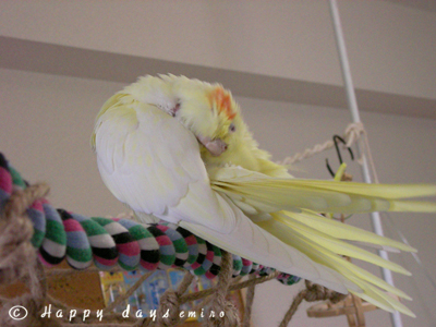 羽繕いミモ2