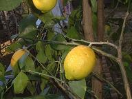 070116レモンの木.jpg