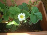 070402いちごの花.jpg