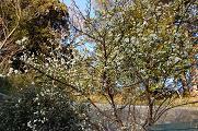 080328プラムの木.jpg