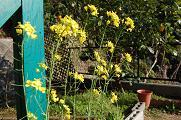 080328小松菜の花.jpg