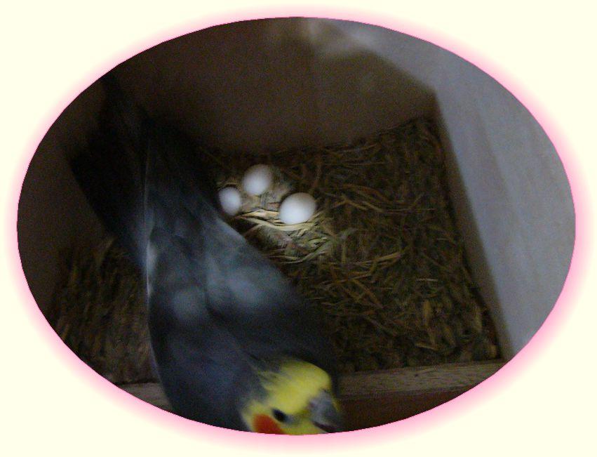 061011卵3個.jpg