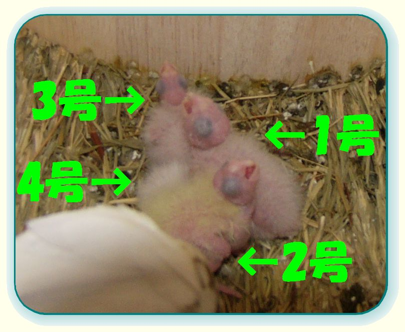 061113雛4羽トップ.jpg